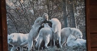 Ein Erinnerungsfoto zusammen mit Ebels Zöglingen. Heute gibt es nur noch drei weiße Wölfe im Park.