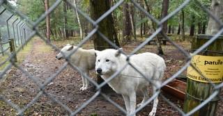 Schon von weitem erkennen die Wölfe das Auto ihrer Pflegerin.