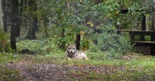 Zu den anderen Wölfen im Park hat die Biologin nicht mit der Flasche aufgezogen. Sie meiden auch die Pflegerin.