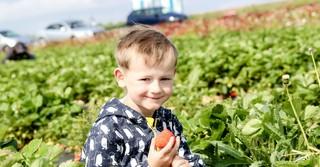 Die Erdbeerfelder vom Bauer Würfl locken zahlreiche Sammler an.