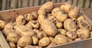 In diesem Jahr baute der Franzehof erstmals auch Kartoffeln an.