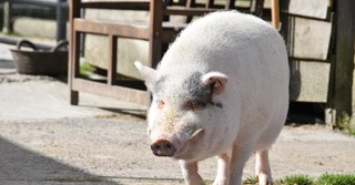 Das ehemalige Hausschwein 'Schnitzi' wurde von Anja Betz aufgenommen und führt seitdem ein entspanntes Leben auf dem Hof.