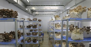 Blick in die Klimazelle, wo die Edelpilze unter Idealbedingungen reifen.