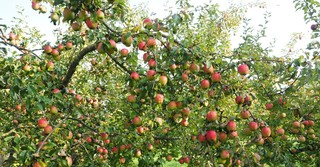 Im letzten Herbst sind insgesamt knapp eine Million Tonnen Äpfel in den heimischen Apfelplantagen geerntet worden.