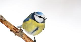 Die fünf am häufigsten gemeldeten Arten waren wie bisher immer Haussperling, Kohlmeise, Feldsperling, Blaumeise (unser Foto) und Amsel.