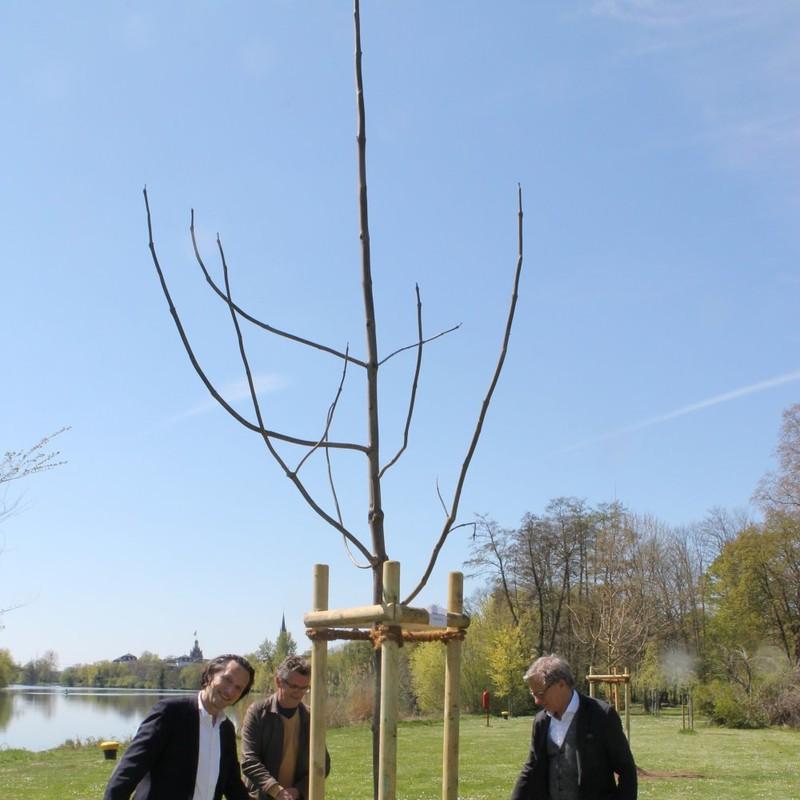 Stadtrat Thomas Morlock, Wolfgang Swierczek und HIS-Leiter Markus Henrich gießen den frisch gepflanzten Blauglockenbaum.